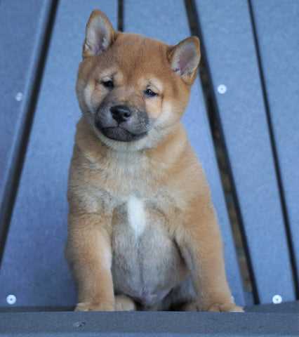 AKC Registered Shiba Inu For Sale Millersburg, OH Male- Bouncer