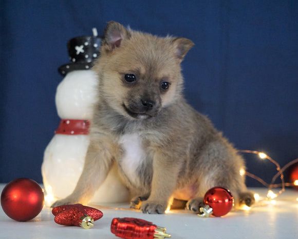 Pomeranian Mix For Sale Millersburg, OH Female- Marley