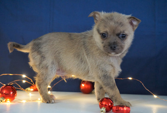Pomeranian Mix For Sale Millersburg, OH Male- Maverick