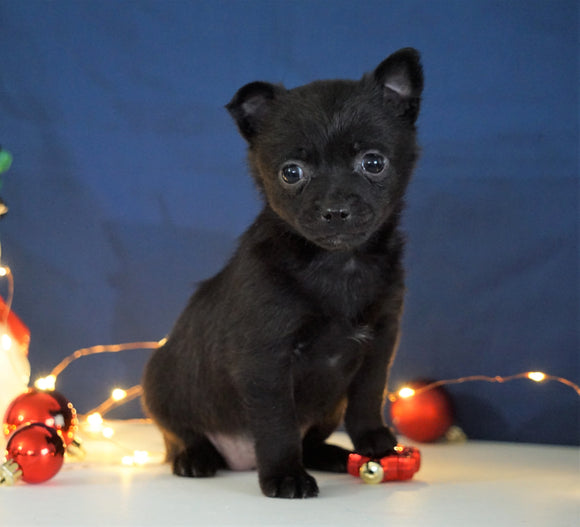 Pomeranian Mix For Sale Millersburg, OH Female- Monica