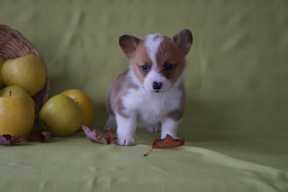 ACA Registered Welsh Corgi (Pembroke) For Sale Sugarcreek, OH Male- Pumpkin