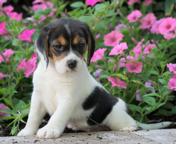Beagle Puppy For Sale Sugarcreek, OH Female- Heather