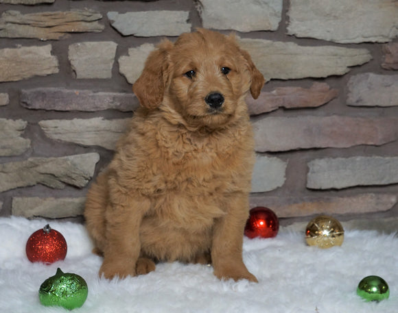 F1B Goldendoodle (Standard) For Sale Fredericksburg, OH Male- Tyrone