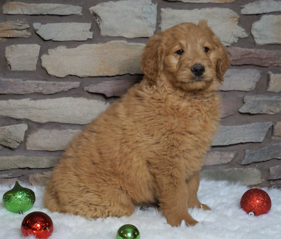 F1B Goldendoodle (Standard) For Sale Fredericksburg, OH Male- Beau