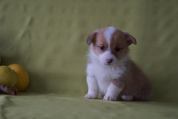 ACA Registered Welsh Corgi (Pembroke) For Sale Sugarcreek, OH Male- Nutmeg