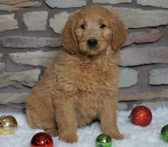 F1B Goldendoodle (Standard) For Sale Fredericksburg, OH Female- Daisy