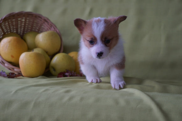 ACA Registered Welsh Corgi (Pembroke) For Sale Sugarcreek, OH Female- Autumn