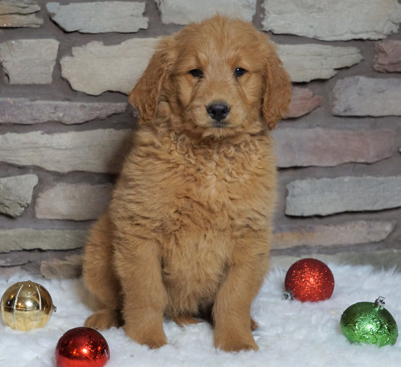 F1B Goldendoodle (Standard) For Sale Fredericksburg, OH Female- Holly