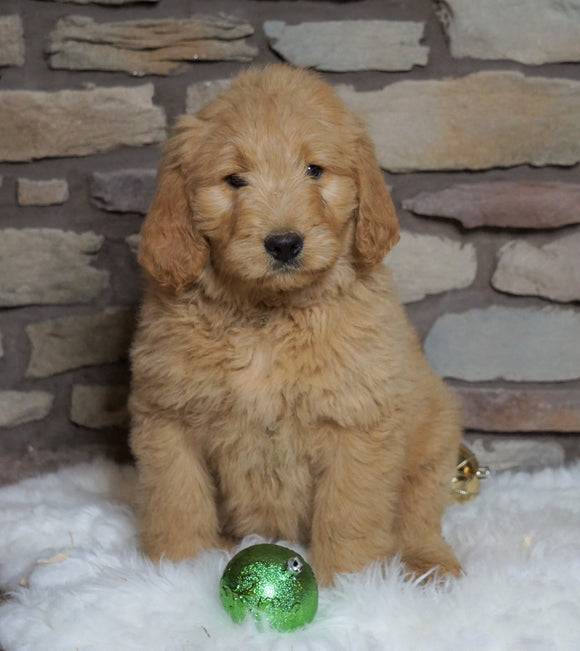 F1B Goldendoodle (Standard) For Sale Fredericksburg, OH Female- Belle