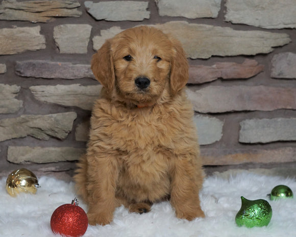 F1B Goldendoodle (Standard) For Sale Fredericksburg, OH Female- Willow
