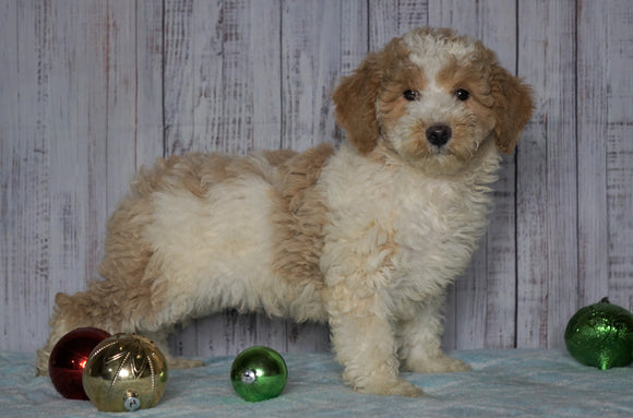Moyen Poodle For Sale Wooster, OH Male- Omar