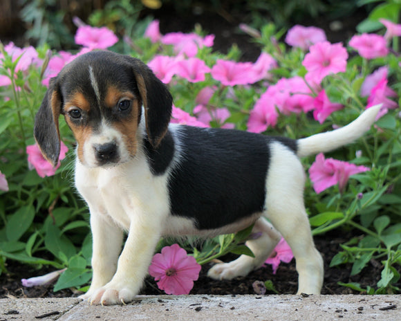AKC Registered Beagle Puppy For Sale Sugarcreek, OH Female- Helen