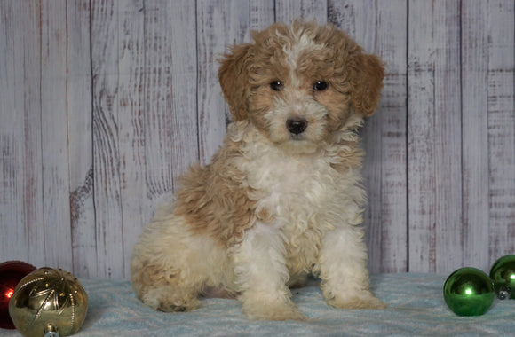 Moyen Poodle For Sale Wooster, OH Male- Ozzie