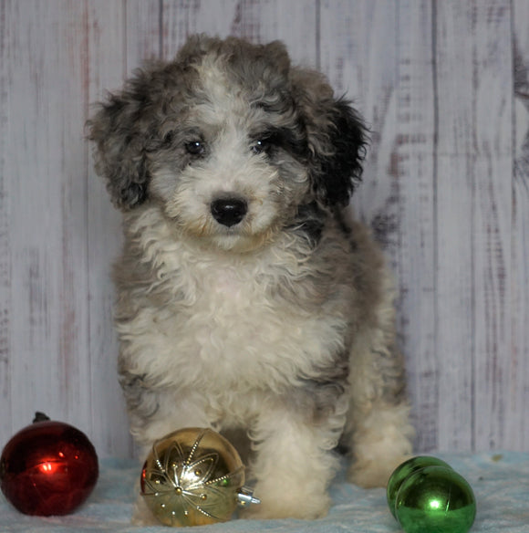 Moyen Poodle For Sale Wooster, OH Male- Oliver