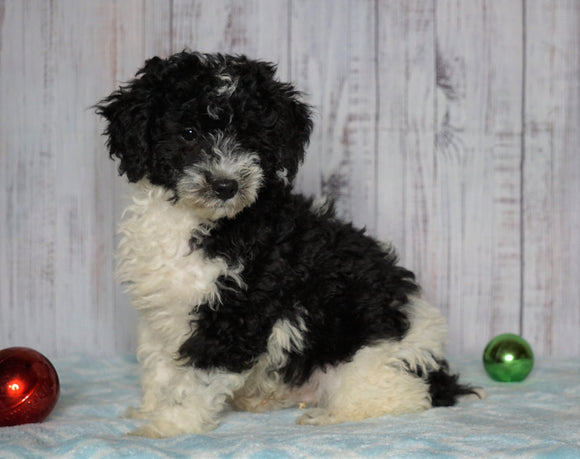 Moyen Poodle For Sale Wooster, OH Male- Oscar