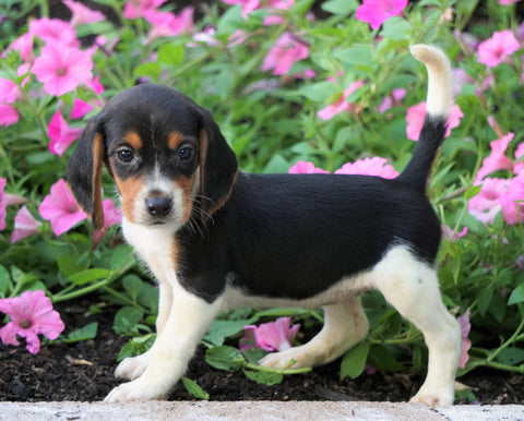 AKC Registered Beagle Puppy For Sale Sugarcreek, OH Female- Holly