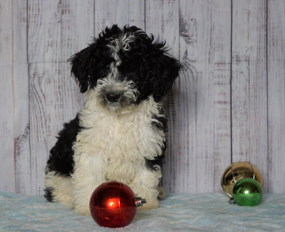 Moyen Poodle For Sale Wooster, OH Male- Orlando