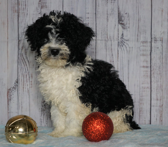 Moyen Poodle For Sale Wooster, OH Male- Otis