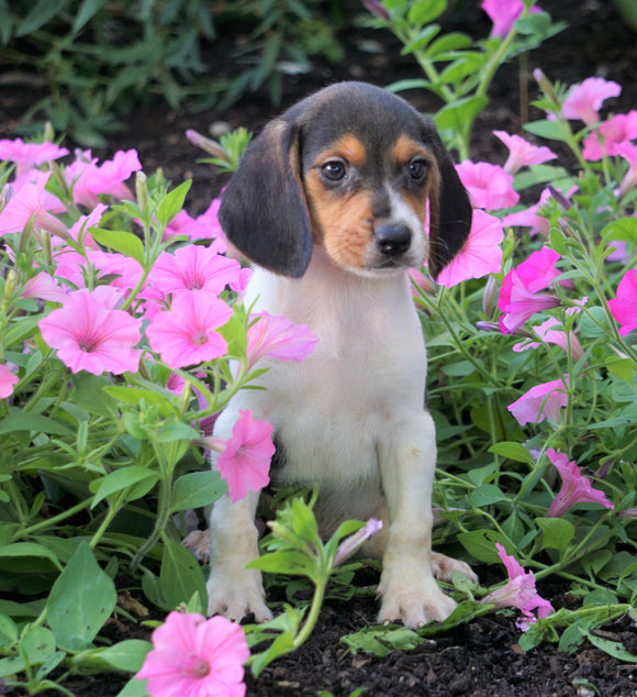 AKC Registered Beagle Puppy For Sale Sugarcreek, OH Male- Houston