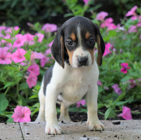 AKC Registered Beagle Puppy For Sale Sugarcreek, OH Female- Haylie