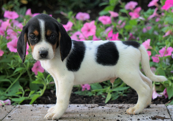 AKC Registered Beagle Puppy For Sale Sugarcreek, OH Male- Harley