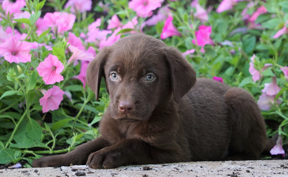 AKC Registered Labrador Retriever For Sale Sugarcreek, OH Male- Piper