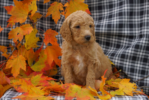 F1B Labradoodle For Sale Millersburg, OH Female- Cora