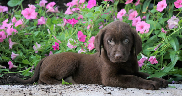 AKC Labrador Labrador Retriever For Sale Sugarcreek, OH Male- Philip