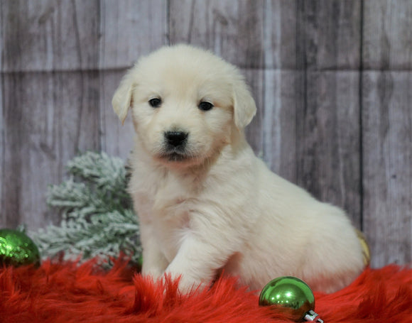 AKC Registered English Cream Golden Retriever For Sale Fredericksburg, OH Female- Noelle