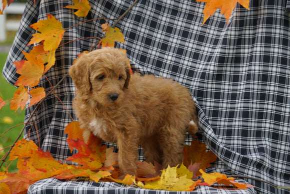 F1B Labradoodle For Sale Millersburg, OH Female- Candy