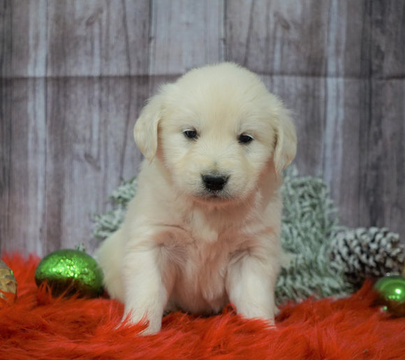 AKC Registered English Cream Golden Retriever For Sale Fredericksburg, OH Male- Vixen