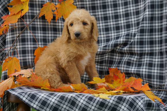 F1B Labradoodle For Sale Millersburg, OH Female- Cathy