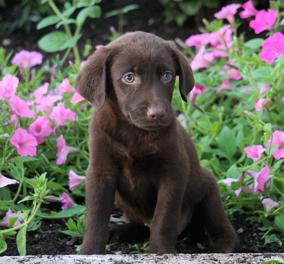AKC Registered Labrador Retriever For Sale Sugarcreek, OH Female- Phoebe