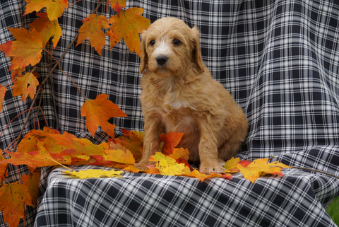 F1B Labradoodle For Sale Millersburg, OH Female- Clara