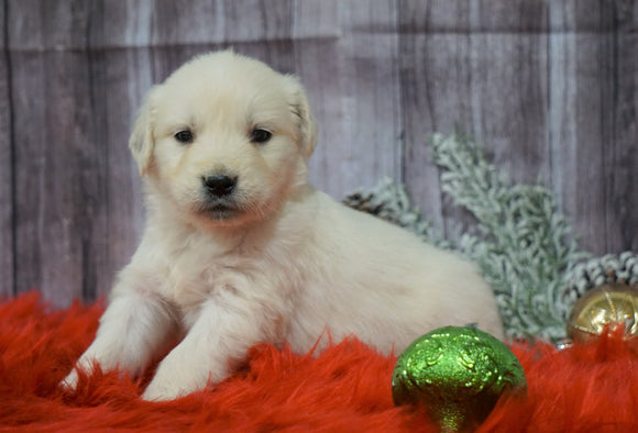 AKC Registered English Cream Golden Retriever For Sale Fredericksburg, OH Male- Cupid
