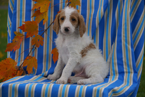 F1B Labraoodle For Sale Millersburg, OH Male- Carl