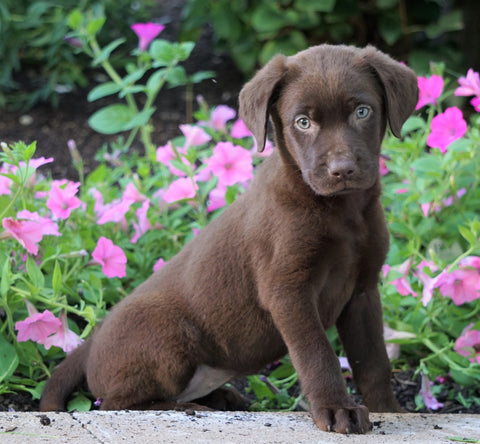 AKC Registered Labrador Retriever For Sale Sugarcreek, OH Female- Priscilla