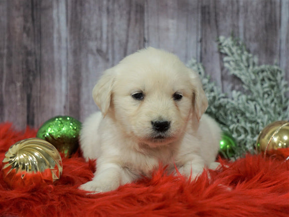 AKC Registered English Cream Golden Retriever For Sale Fredericksburg, OH Female- Candi