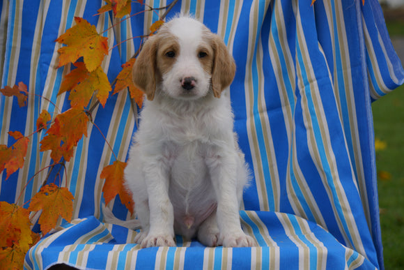 F1B Labradoodle For Sale Millersburg, OH Male- Cole