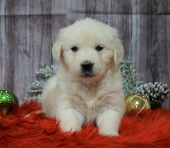 AKC Registered English Cream Golden Retriever For Sale Fredericksburg, OH Female- Holly
