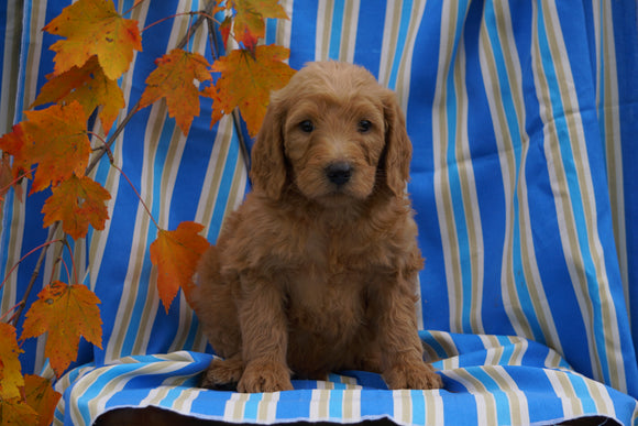 F1B Labradoodle For Sale Millersburg, OH Male- Caleb
