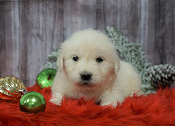 AKC Registered English Cream Golden Retriever For Sale Fredericksburg, OH Male- Donner