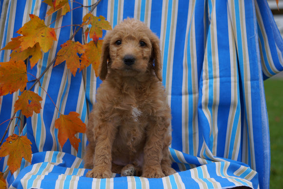 F1B Labradoodle For Sale Millersburg, OH Male- Cain