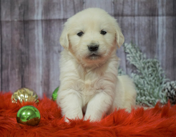 AKC Registered English Cream Golden Retriever For Sale Fredericksburg, OH Male- Blitzen