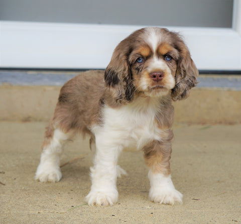 AKC Registered Cocker Spaniel For Sale Wooster, OH Male- Buddy