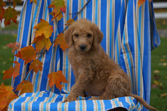 F1B Labradoodle For Sale Millersburg, OH Male- Calvin