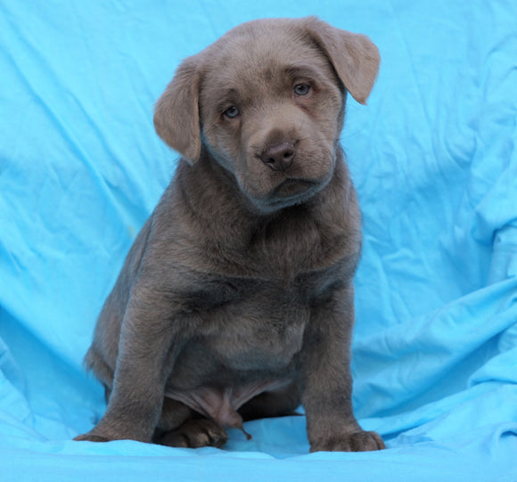 AKC Registered Silver Labrador Retriever For Sale Millersburg, OH Male- Duke