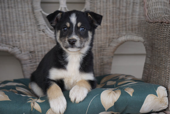 Miniature Australian Shepherd Mix For Sale Holmesville, OH Male- Tucker