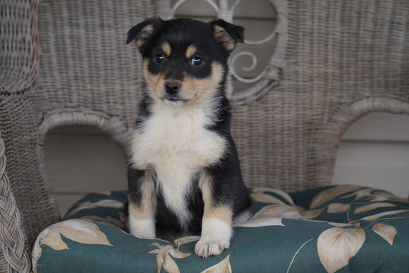 Miniature Australian Shepherd Mix For Sale Holmesville, OH Female- Abby
