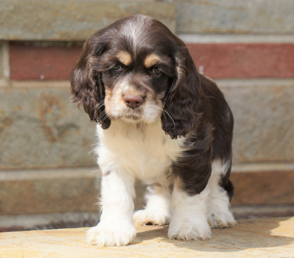 AKC Registered Cocker Spaniel For Sale Wooster, OH Female- Sugar